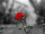 孤单红玫瑰