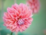 粉色大丽菊