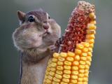 啃玉米的松鼠