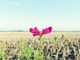 农田旁的波斯菊