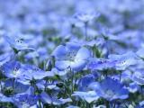 淡紫亚麻花