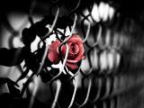 凋零的玫瑰