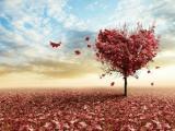 枫树叶追爱
