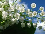 鈴(ling)蘭花