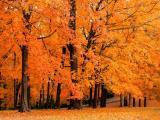秋天的楓葉