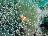 美丽的海葵鱼