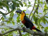 豐富多彩的巨嘴鳥