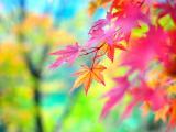 秋之枫叶情