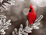 駐立枝頭的紅鳥