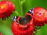 蝴蝶对花的不舍