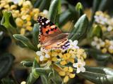 桂花上的蝴蝶