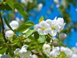 淡雅苹果花