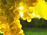 金黄的葡萄