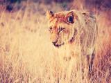 草叢金色獅子