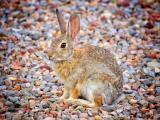 鵝卵石上的兔子