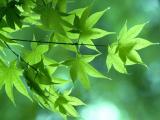 雨后綠色楓葉