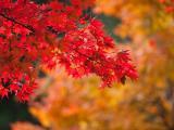 金秋楓葉紅