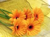 美丽的非洲菊