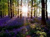 陽光下的薰衣草