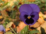 高贵紫罗兰